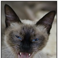 Матильда-тайская кошка-из серии Кошки очарование мое! :: Shmual Hava Retro