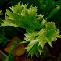 Зеленый салат :: Наташа Рыбакова