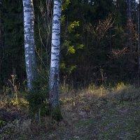 Лучи заходящего солнца в лесу. :: Николай Галкин