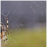 Spider 1/2 :: Денис Снитко