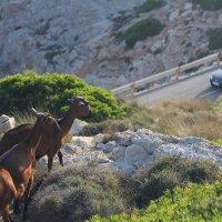 Новое увлечение горных коз :: Елена Троян