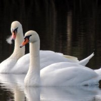 лебеди :: Люба Вылывана