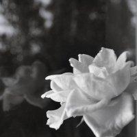 Розы у окна :: Tanya Knapweed