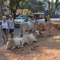 Индия. Священные коровы и бывшие колонизаторы :: Владимир Шибинский