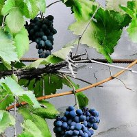 Кисти синего винограда :: Александр Бурилов
