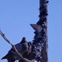 голуби :: Денис Филиппов