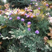 Цветы в можжевельнике в октябре :: Елена Лукожева