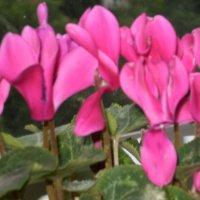 Прекрасные цветы :: Елена Савченко
