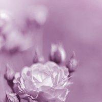 Розовая роза :: Ирина Яздан Мехр