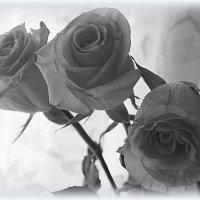 Розы :: Елена Перевозникова