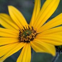 солнечный цветок :: Любовь Анищенко