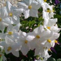 невероятной красоты цветы :: Оля Любимова