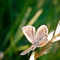 Соломенный мотылек :: Serge Golos
