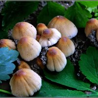 грибы :: Ханпаша Джаватханов