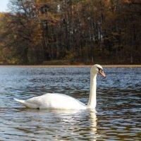 Лебедь :: Андрей Кириченко