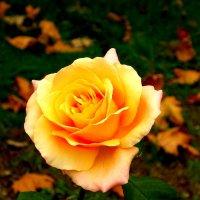роза :: дмитрий панченко