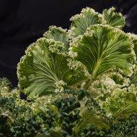 Brassica oleracea :: Юра Викулин