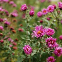 Осенние цветы :: Леся Сосновская