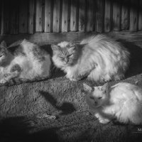 Коты :: Михаил Сотников