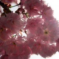 Чудо природы - сакура :: Яна Гоголь