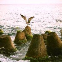 Чайка :: Steranida V