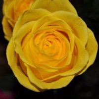 Желтая розочка :: Ксения Казакова