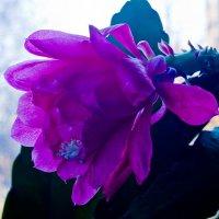 Цветок дущистый прерий :: Яков Реймер