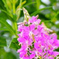 Цветок тайги :: юрий Амосов