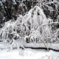Зимний лесной этюд :: Борис Русаков