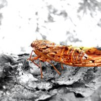 Золотая цикада :: Valeriy Somonov