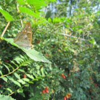 бабочка-красавица :: Ксения Грибанова