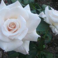 Розы :: Виктория Козлова