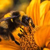 Лохматый пчел... :: АндрЭо ПапандрЭо