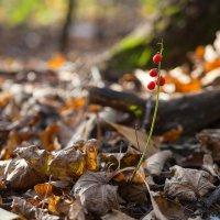 Ландыш осенью :: Андрей Меренов
