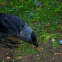 Плутовка ворона :: Владимир Максимов