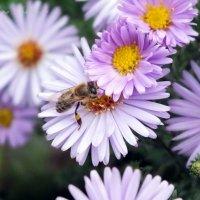 пчелка :: Светик Венцова