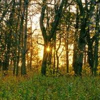 Sunshine in the forest :: Roman Ilnytskyi
