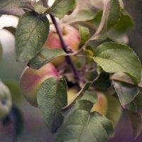 яблоки :: Pasha Grigiriev