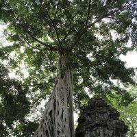 Камбоджа. Ангкор-Ват. Дерево, растущее из развалин :: Владимир Шибинский