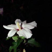 цветок :: Роман Мамчук