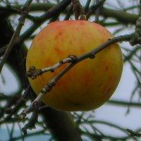 Последнее яблоко :: Ирина Приходько
