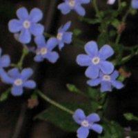 Синие цветочки :: Олеся Чернышова