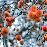 Райские яблочки. :: Тамара Бучарская