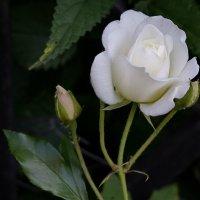 роза :: Святослав Лебедев
