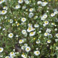 Полевые цветы... :: Svet_Lana ZGS