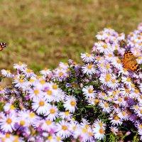 Бабочки, цветочки... :: Елена Васильева