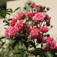 Куст розы :: Ольга Иргит
