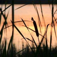Камыш  не роза,но  на закате он красив. :: Наталья Соколова