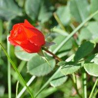 роза :: Баттал Омаров