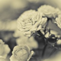 розы :: Анастасия Influentia